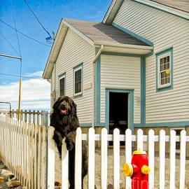 Newfoundland Dog In Newfoundland by Les Palenik