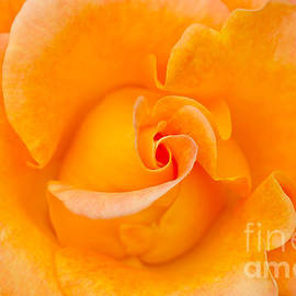 Nikon Nick's Rose Macro by Nick Boren