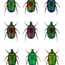 Nine Beetles Against A White Background by Richard Boll