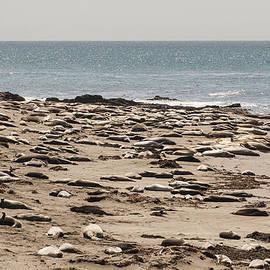 Lee Kirchhevel - Northern Elephant Seals on the Beach