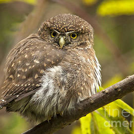 Northern Pygmy Owl by Inge Riis McDonald
