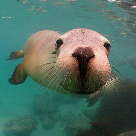 Nosey Sea lion by Crystal Beckmann
