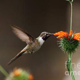 Oasis Hummingbird Feeding by James Brunker