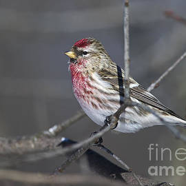 Oh my what a Finch.. by Nina Stavlund