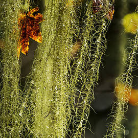 Old Man's Beard Lichen by Belinda Greb