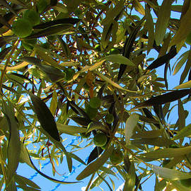 Tina M Wenger - Olive Branches