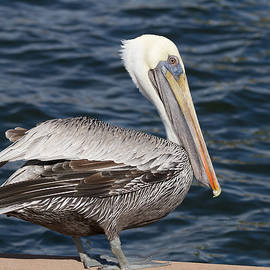 Kim Hojnacki - On the Edge - Brown Pelican