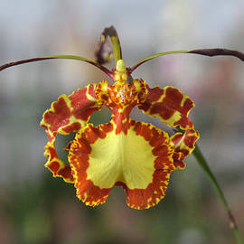 Venetia Featherstone-Witty - Oncidium Dancing Lady