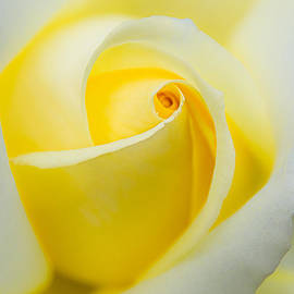 One Yellow Rose by Julie Palencia