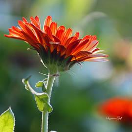 Suzanne Gaff - Orange Beauty II