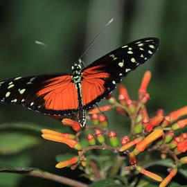 Lorraine Baum - Orange Butterfly On Orange Flower