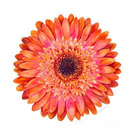 Orange Gerbera Daisy by Amy Kirkpatrick