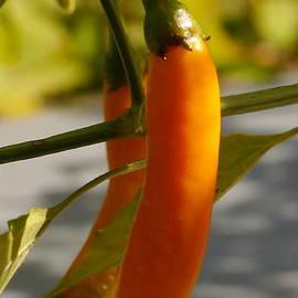 Christiane Schulze Art And Photography - Orange Jalapeno Pepper