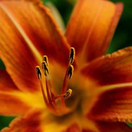 Julien Boutin - Orange Lily
