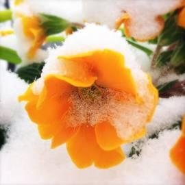 Orange spring flower with snow