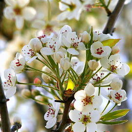 Ornamental Pear Blooms by Kay Novy