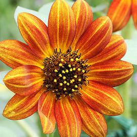 Judy Whitton - Ornamental Sunflower