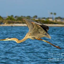 Heron in Flight by Stephen Whalen