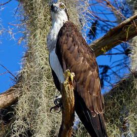 Osprey On Alert by Denise Mazzocco