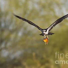 Osprey with goldfish by Bryan Keil