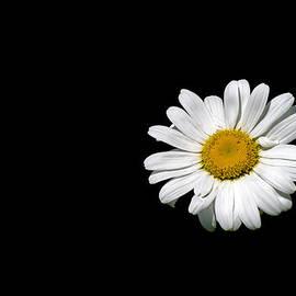 Ox-eye daisy by Torbjorn Swenelius