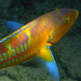 Painted Hawaiian Wrasse by Tony and Kristi Middleton