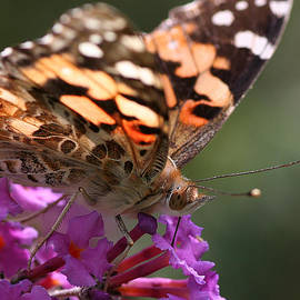 Painted Lady On Butterfly Bush by William Selander