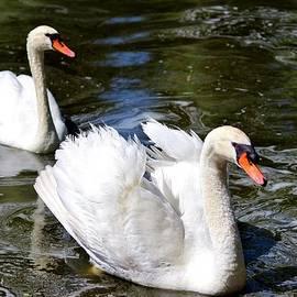 Cynthia Guinn - Pair Of Swans