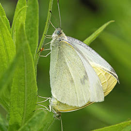 Pairing White Cabbage Butterflies by Juergen Roth