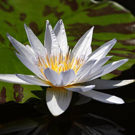 Linda Phelps - Pale Lavender Water Lily on Striped Lily Pad