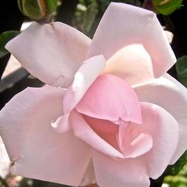 Pale Pink Rose by Stephanie Moore