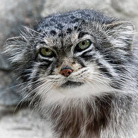 John Fotheringham - Pallas Cat