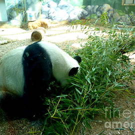 Panda Eating Our Donated Bamboo by Renee Trenholm