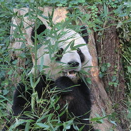 Panda with bamboo by Dwight Cook
