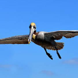 David Lee Thompson - Panoramic Pelican
