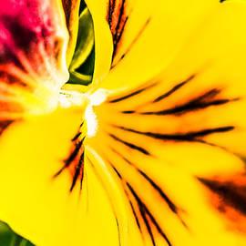 Pansy Flower 1 by Alexander Senin
