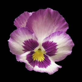 Danny Smythe - Pansy Flower