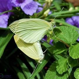 Robert ONeil - Passion of the Butterflies