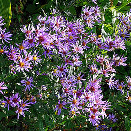 Patch of Purple Asters. Aster Alpinus by Connie Fox