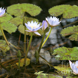 Peaceful Water Lily Pond