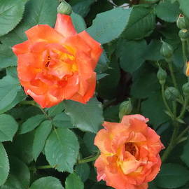 Peach Colored Roses by Catherine Gagne