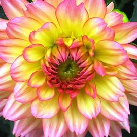 Will Boutin Photos - Peach Dahlia