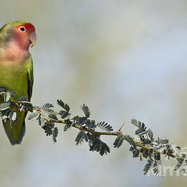 Peach faced love bird by Bryan Keil