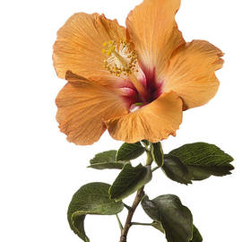 Peach Hibiscus by Endre Balogh