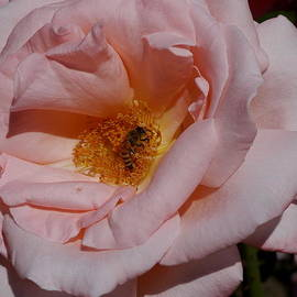 Christiane Schulze Art And Photography - Peachy Petals And Bee
