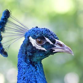Peacock Blue by Kim Hojnacki