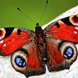 Mariola Bitner - Peacock Butterfly