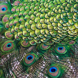 Eti Reid - Peacock display abstract