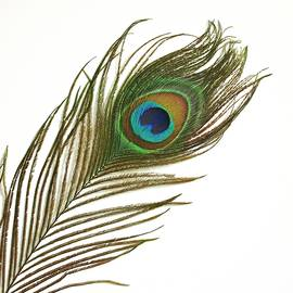 Peacock Feather by Mark Sykes