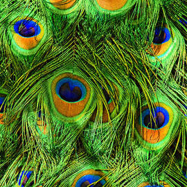 Peacock Feathers by Marcia Colelli